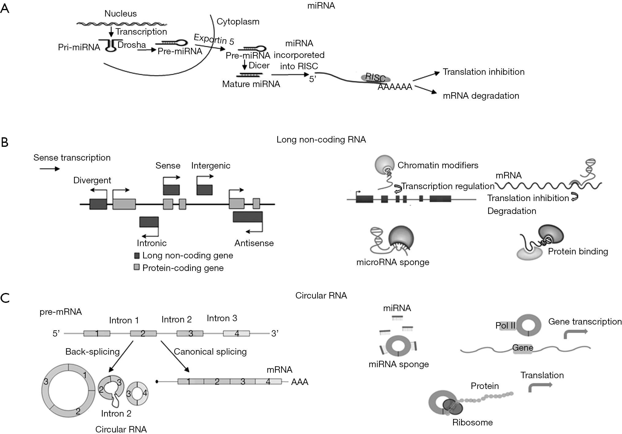 Non-coding RNA in cardiovascular disease: a general overview